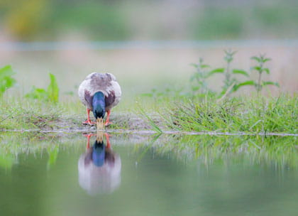 Duck looking at reflection
